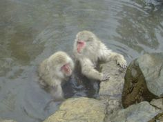 Onsen monkeys!!! Can you have a bath with them?