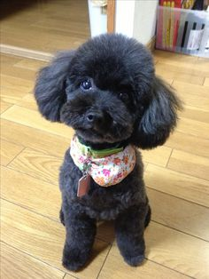 Silly Dogs, Cute Cats And Dogs, Animals And Pets, Cute Animals, Toy Poodle Puppies, Teacup Puppies, Cute Puppies, Toy Poodles, Poodle Teddy Bear Cut