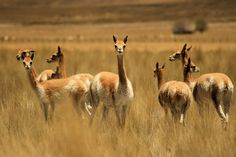 The smallest member of the camelid family, the vicuna is thought to be the wild ancestor of the alpaca. Vicuna undergo daily migrations, spending the night and early morning on dry slopes and then descending to the grassland and marshes to graze before returning to the slopes in the late afternoon.