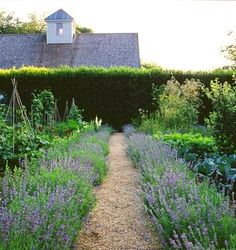 lavender edging for the garden...I think this looks magical with the tall hedge in back, a really nice balance of form and exuberant growth