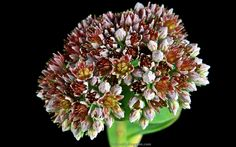 Tapety na pulpit 4K, Ultra HD, FULL HD i inne rozdzielczości: Rozchodnik lubczykowy kwiaty Sedum anacampseros