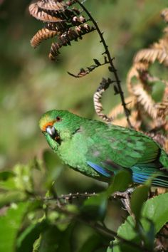 Eighteen rare orange-fronted parakeets have been moved to a Bay of Plenty island sanctuary to build a self-supporting population. Photo: Jack Van Hal. #nzbirds