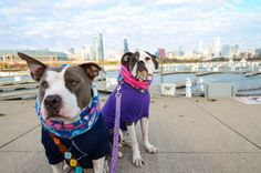 Miss M and Mr B, Two Pitties in the City