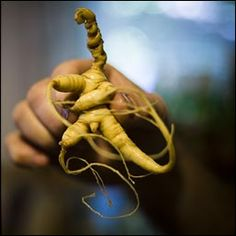 Million-Dollar Man Root: How a Maryland ginseng farmer is rolling back our trade deficit with China. Chinese Herbs, Chinese Medicine, Growing Ginseng, Medicinal Plants, Health And Wellbeing, Sustainable Living, Plant Hanger, Natural Health, Gardening Tips