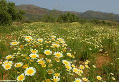 Spring in Crete - Crown daisies (Chrysanthemum coronarium) - Click to enlarge