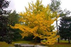 ginkgo tree - Bing Images