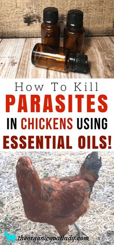 How To Kill Parasites In Chickens Using Essential Oils, Raising Chickens Ideas, Backyard Chickens Ideas, Essential Oils On The Homestead, Essential Oil Recipes, Essential Oils