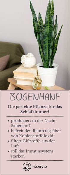 Pflanzen im Schlafzimmer: Vorteile, Nachteile und geeignete Arten Bow Hemp: The perfect plant for the bedroom? Bow hemp produces oxygen at night and filters out toxins from the air. Potted Plants, Indoor Plants, Ideas Paneles, Decoration Bedroom, Perfect Plants, Bedroom Plants, Plant Species, Barndominium, Rustic Chic
