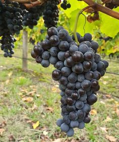 Wines of the Yarra Valley Non traditional varieties are now making an impact in this historic wine region. Nebbiolo at Soumah winery Domaine Chandon, Pinot Blanc, Different Wines, Yarra Valley, Fine Wine, Wineries, Wine Country, Beautiful Landscapes