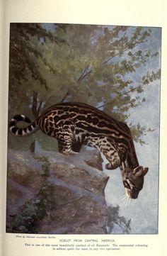 Ocelot, The People's Natural History, Vol I, Mammals, The University Society, 1903.