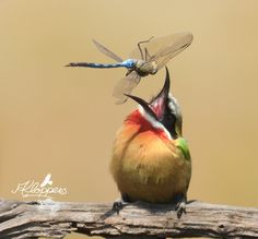 White-fronted Bee-eater with it's dragonfly