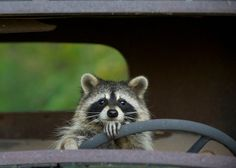 Raccoon on the way to the laundromat - Raccoon on the way to the laundromat Informations About Waschbär auf dem Weg in den Waschsalon Pin - Animals And Pets, Baby Animals, Funny Animals, Cute Animals, Strange Animals, Cute Raccoon, Baby Raccoon, Raccoon Art, Rocket Raccoon
