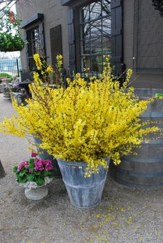 Nothing says spring like forsythia ~ I used to call this forcynthia for my sister.