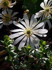 Garten-Anemonen
