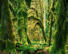 Moss Covered Big Leaf Maples, Hoh Rain Forest Wall Mural by Charles Gurche Tree Scene Wallpaper, Wallpaper Murals, Nursery Wallpaper, Storybook Forest, Jungle Images, Forest Mural, Murals Your Way, Tree Wall Murals, Outdoor Wall Art