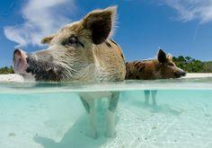 Sommigen hebben een voorliefde voor hele bijzondere vakanties. Pokervakanties of zwemmen met varkens! Say what? De Bahama's, de vijf tips van...