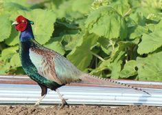 Green Pheasant, Phasianus versicolor, also known as Japanese Pheasant