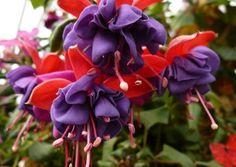 Red Purple Fuchsia (10 Seeds)