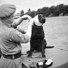 "A sergeant of the Royal Army Veterinary Corps bandages the wounded ear of ""Jasper"", a mine-detecting dog, Bayeux, France, June 1944. Jasper suffers with quiet dignity."