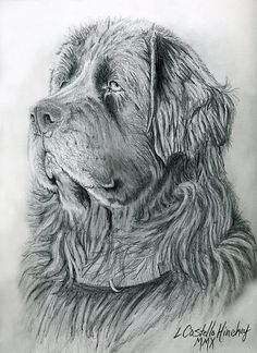 Commissioned Newfie drawing done in graphite pencil from photo by artist, L. Costello Hinchey. Was donated to a Newfoundland rescue organization.