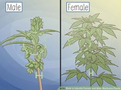 How to Identify Female and Male Marijuana Plants. If you are growing marijuana for medicinal purposes, you need to know how to identify female and male marijuana plants. Almost all growers prefer female marijuana plants because only. Weed Plants, Marijuana Plants, Cannabis Plant, Marijuana Art, Growing Weed, Growing Greens, Cannabis Growing, Cannabis Cultivation, Medical Marijuana