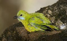 Orange-Bellied Leafbird Female ( Chloropsis hardwickii ) | Flickr - Photo Sharing!