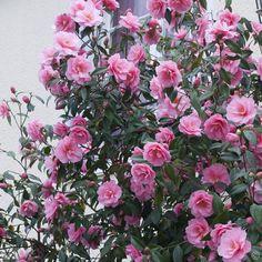 Japanische Kamelie Rosa - 1 strauch  günstig online kaufen, bestellen Sie schnell und bequem online