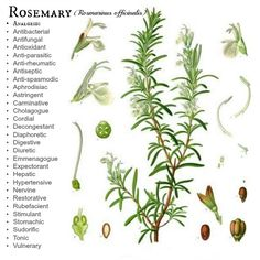 Rosemary -- How to grow it and what it's good for....Joybilee Farm   Rosemary should grow really well in OK.