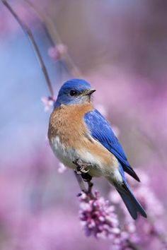 Female Eastern Bluebird Photographic Print by Adam Jones Blue Bird Art, Eastern Redbud, Bluebird Tattoo, Cross Stitch Bird, Colorful Birds, Exotic Birds, Bird Pictures, Little Birds, Nature Animals