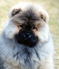 Chow Chow Hund Hund Chow