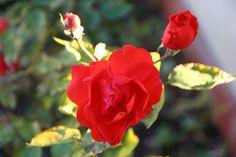 rose rosse fiorite