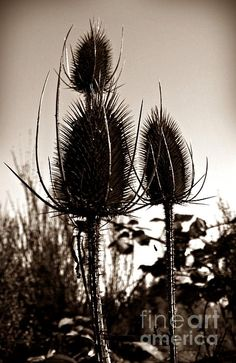 Fullers Teasel Sepia Photograph by Chalet Roome-Rigdon