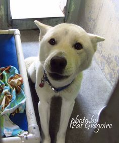 A4829815 I am a 3 yr old male white German Shepherd mix. I came to the shelter as a stray on May 13. available 5/18/15 Baldwin Park shelter Open for Adoptions 7 days a Week 4275 Elton Street, Baldwin Park, California 91706 Phone 626 430 2378 https://www.facebook.com/photo.php?fbid=968794053132432&set=a.705235432821630&type=3&theater