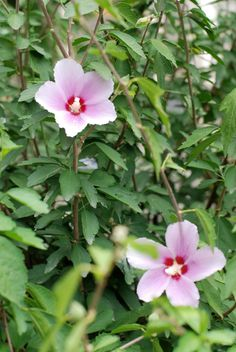 How to care for Hibiscus