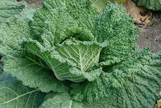 Savoy cabbage with crinkled leaves tolerates frost - Growing Cabbage (My husband is a big cabbage fan! Autumn Garden, Easy Garden, Edible Garden, Garden Ideas, Garden Guide, Growing Cabbage, Cabbage Varieties, Cabbage Plant, Savoy Cabbage