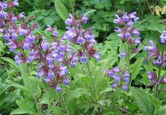 salvia officinalis - ryytisalvia