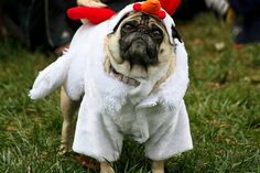 rooster pug