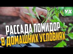 Рассада помидор в домашних условиях. Часть 1 - YouTube