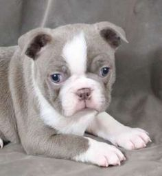 Boston Terrier Puppy Adorable Ah Habz To Kisch Daah Faysch Kre Terriers Pinterest Puppies And Animal