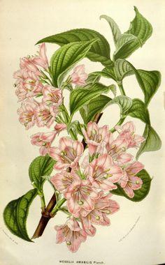 v.8 (1852-53) - Flore des serres et des jardins de l'Europe - Biodiversity Heritage Library - Weigela Amabalis