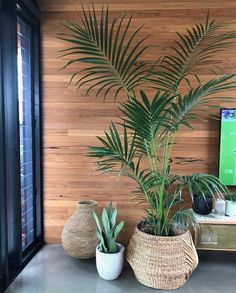 Kentia Palm and water hyacinth basket looking gorgeous in its new home - crushing over that timber wall too 💚 Big Indoor Plants, Large Plants, Living Room Plants, House Plants Decor, Interior Plants, Interior And Exterior, Vase Deco, Timber Walls, Palm Plant