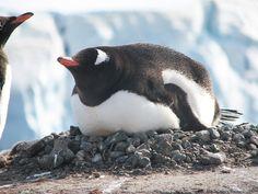 It seems like a good time for a nap #naptime #takinganap #sofluffyicoulddie #adorableanimals #penguins #antarcticnatives #nesting #flightlessbirds #exploretheworld