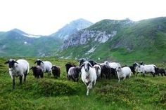Seltene Nutztiere ideal für extensive Beweidung. Alpine Steinschafe sind für Beweidungsprojekte auf Almen gut geeignet. Foto: Jaritz Cow, Animals, Beef Farming, Farm Animals, Sheep, Stones, Animales, Animaux, Cattle