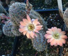 Rebutia pygmaea (or Rebutia gracilispina) (cacti).