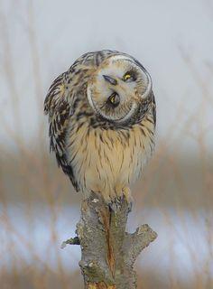 Short-eared Owl by © Ahn . b . k