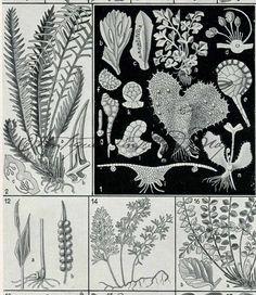 Antique Botanical Print Ferns Maidenhair by AntiquePrintsAndMaps, $9.00
