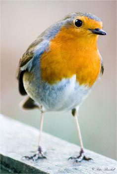British Robin Redbreast