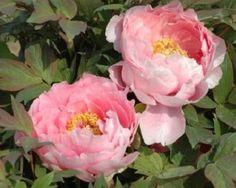 Adzuma Nishiki - Early Midseason Japanse Tree Peony, semi-double pink, large old rose pink flowers, typical reflecting dark green foliage, classic variety, vigorous, (Japan, 1893). www.peonyshop.com