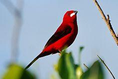 Tiê Sangue, um dos lindos pássaros brasileiros. Hudson. Pinado do Google