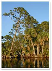 Pine Island Fl Alligators